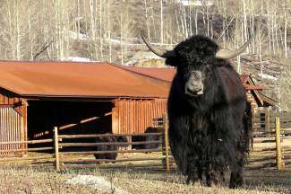 The Tibetan Yaks at the Oxbow, picture on April 7, are not so sure about these warmer temps since they still have their heavy winter black coats on.