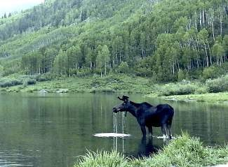 A moose stands in Maroon Lake on July 2. Colorado Park and Wildlife officials closed the Crater Lake and scenic loop trails near the lake for a short time last summer due to concerns about two bull moose in close proximity to the trails.