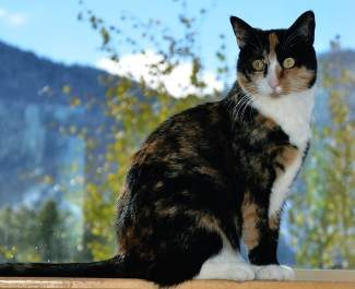 The pet of the week is Missy. Missy is a 3-year-old spayed female domestic shorthair mixed calico. She would do best in a home as the only pet. She is very sweet and enjoys being petted and playing with toy mice.  Come meet this kind soul and see if she's a good match for you!