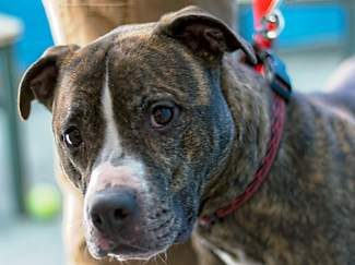 Our pet of the week is Diego. Diego is a 5-yea- old purebred pit bull. He is interested in cats and other dogs, and he loves people!  He tends to get picked on at the dog park because he puts off a 'weak' vibe. He's very loving and gentle, but also easily excitable. He would do best in a home where he would always have his person around, or in a home that would be willing to crate him when he's left alone as he has separation anxiety.