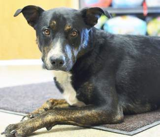 The pet of the week is Stryker. Stryker is a 1-year-old neutered male Border Collie mix. He rarely barks, although he can be quite vocal at times with his singing. He's a fairly high-energy dog who would love to be taken on hikes or cross-country ski trips! He thinks cats look delicious and will chase them if given the chance. He loves to play with people or other dogs. Plus, he's at the perfect age for some obedience training.