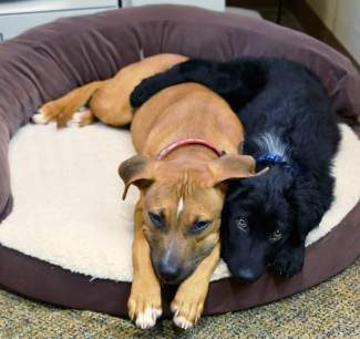 Our pets of the week are Ruby and Boomer. Ruby is a 4-month-old spayed Ridgeback-hound mix. She is not too high energy and would learn obedience training quickly. She really enjoys playing with other dogs and having fun with toys. She'd make a great addition to any home! Boomer is a 3 ½-month-old neutered Border Collie mix. He is a playful, happy, social dog. He is gentle with children and never jumps or nips. He's not an in-your-face kind of puppy. Come meet these two and fall in love!