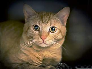The pet of the week is Dallas. He is super sweet, a little shy, and very pretty.  Dallas is a 1-year-old neutered male orange tabby cat. He is quiet and a little reserved. He might do well with a calm dog if given enough time to warm up to it. He's litter trained and clean. Come meet him and see how adorable he is.