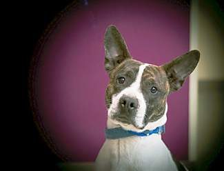 The pet of the week is Aspen. Aspen is a 2-year-old neutered male French bulldog/pit bull mix. He's one fun-loving dog. He loves playing fetch all day, and he knows some tricks and could easily learn more. He barks when there's a knock at the door so he'd make a pretty good guard dog. He likes girl dogs better than boy dogs, and he's cautious around cats.