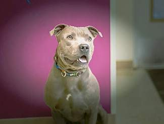 Rufus is a 2½-year-old neutered male blue pit bull. He's a very friendly guy who gets along well with other dogs and loves people. He would really love to take an obedience class with his new owner so that they can bond and so that he can learn his doggie manners. He's just one gorgeous goof of a guy.