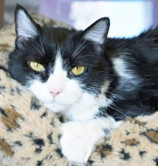 The pet of the week is Clarice. She is a 10-year-old purr machine. She has the Hemingway paws, an extra toe on each pad! Her personality can best be described as affectionate; she will start to purr just seeing you come into her area. Her front pads are declawed. Will you take her home for the holidays and beyond?