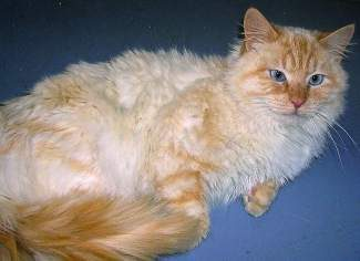 Our pet of the week is Lucas. Lucas is a wonderful but shy 1 ½-year old-domestic long-haired neutered male cat. He likes to be in your lap after he warms up to you, but will hide until he feels comfortable.He is not an in-your-face kitty and will wait to be noticed.He is very sensitive to changes in his environment and would do best in a stable, quiet household.