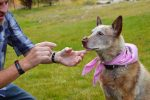 Eric Melvin puts a treat on his cattle dog Angelyne's nose, giving her a visual cue to wait to eat it until he lifts one finger. Eric & Angelyne, 'the Amazing' Deaf Cattle Dog, will present at the second annual BowWow Film Festival on Friday.