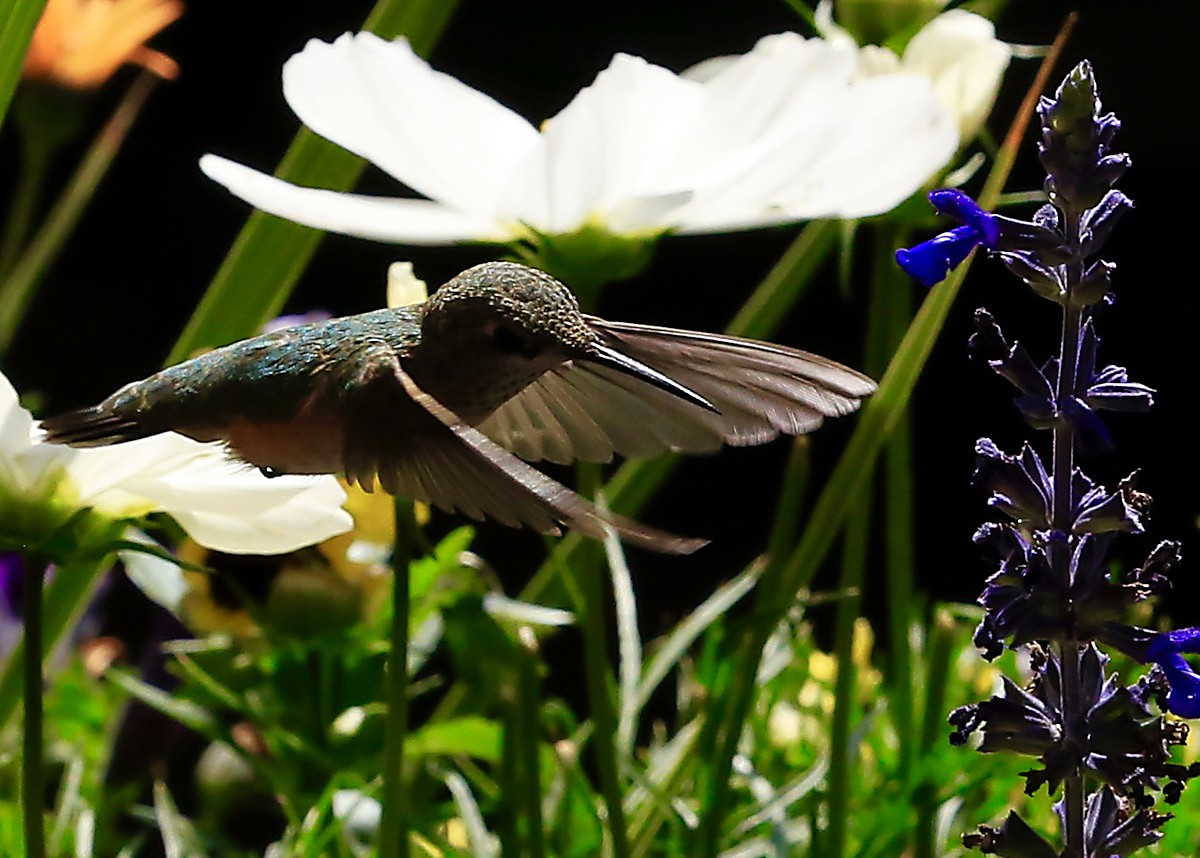 I took these pictures of a Broad-tailed female hummingbird in front of the Ptarmigan Lodge.