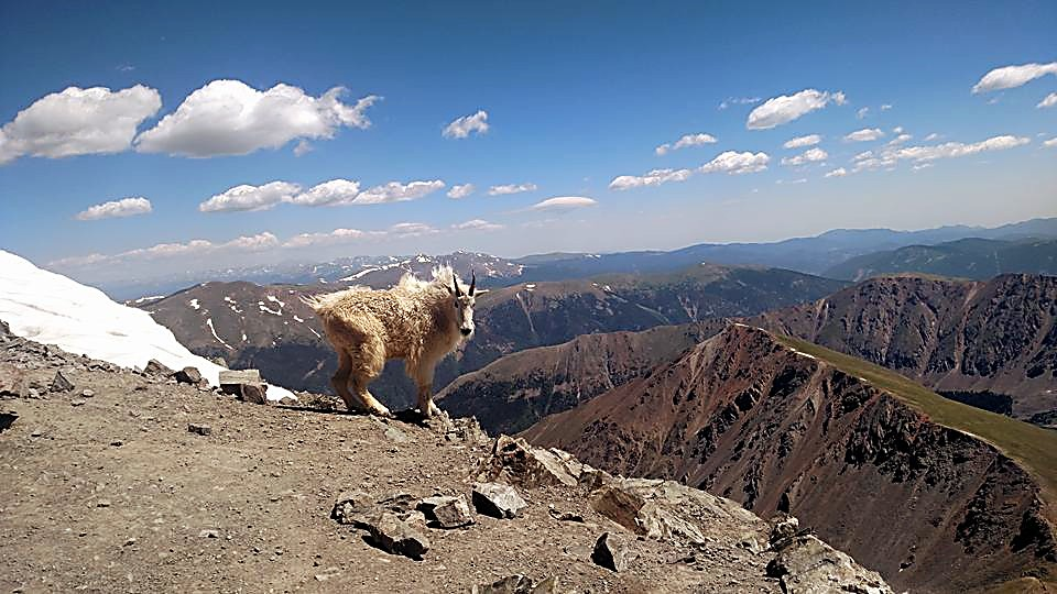 A mountain goat takes in the sights from the summit of Grays Peak (14,278). After two failed attempts, the author and two friends finally reached the top from the tough — and rarely used — Summit County trailhead at Horseshoe Basin.