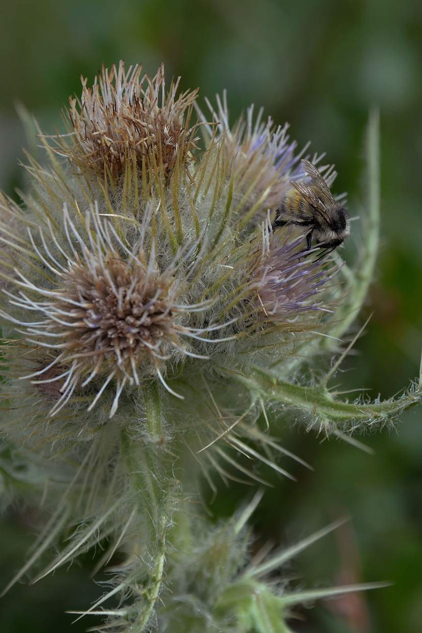 Bees gather the pollen of mountain thistle on the slopes of Missouri Pass.