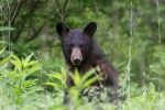 This image depicts an American Black Bear in Cades Cove, Great Smoky Mountains National Park in eastern Tennessee standing on two legs in high grass and looking at the viewer with a surprised look.
