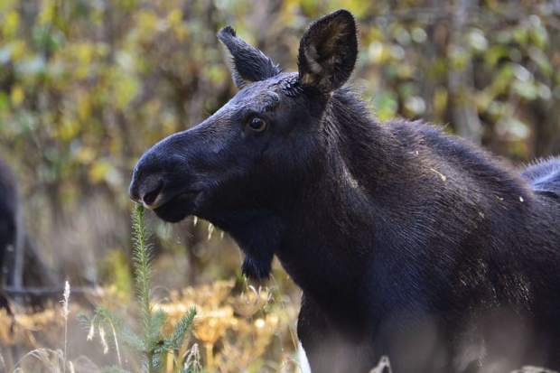 A moose yearling seen recently in Cucumber Gulch.