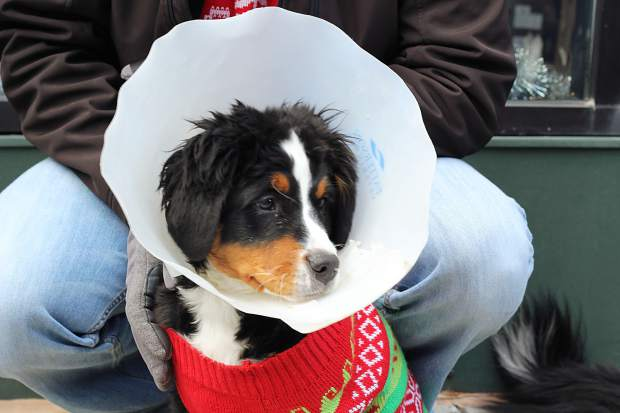 Addie, the three-month-old Benese Mountain Dog participated in the parade on Main Street in Breckenridge.