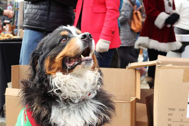 More than 50 canines gathered for the Bernese Mountain Dog Parade in Breckenridge.