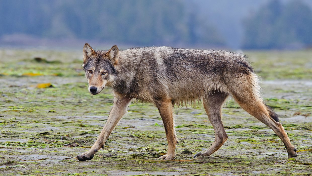 An elusive coastal grey gray wolf (Canis lupus) on Vancouver Island, British Columbia in summer 2011. National Geographic's first-ever digital series,