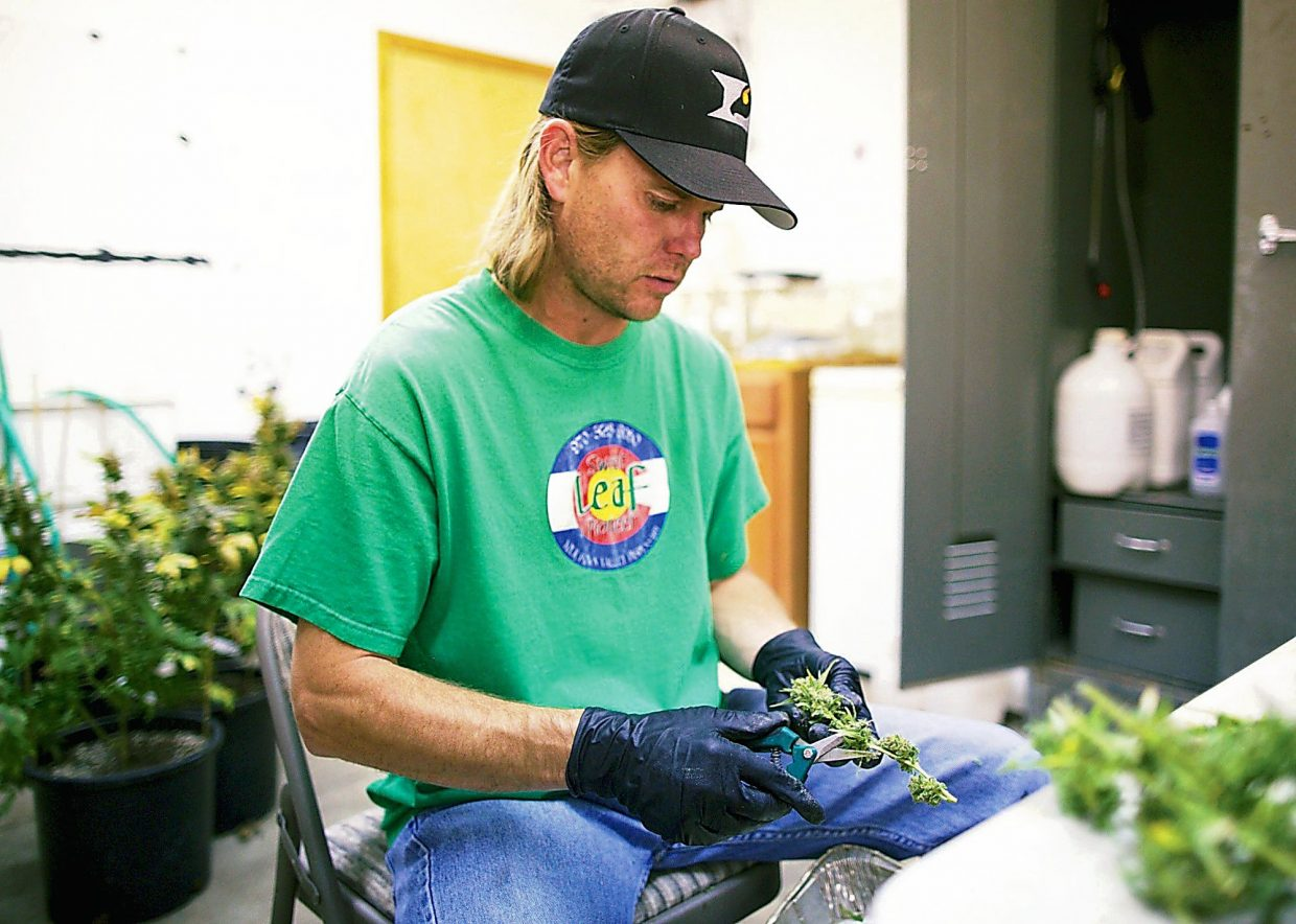 Sweet Leaf Pioneer owner Dave Manzanares trims marijuana for his medical marijuana shop earlier this month in Eagle. Manzanares is hoping to make sell recreational marijuana once the new laws come into affect January 1st 2014.
