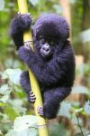 The mountain gorilla is the only great ape primate posting positive numbers within its population in the world, but despite their growth, is still listed as critically endangered by the International Union for Conservation of Nature.