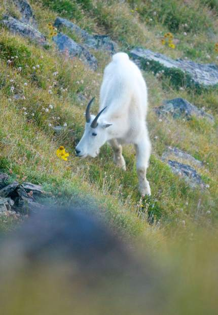 A mountain goat leisurely snacks on grass between Peak Three (12,676 feet) and Peak Four (12,866 feet) of the Tenmile Range.