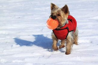 Consider a sweater or coat for your dog in cold weather, but make sure to remove wet cloths as wet sweaters or coats can actually make your dog colder.