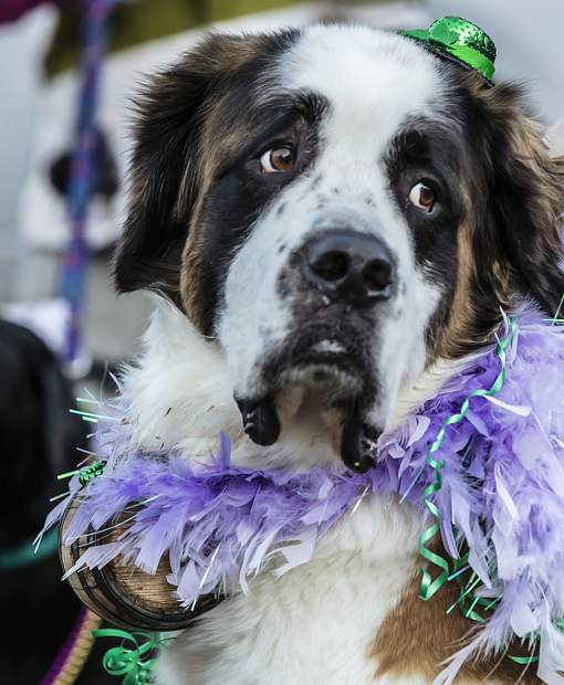 Courtesy ... & Mardi Gras 4Paws: Which pups will be crowned best-dressed ...
