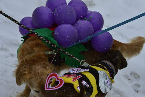 There was a lot of sniffing going on as almost three-dozen pooches participated in the fourth anual Mardi Gras 4Paws pet parade Saturday in downtown Frisco.