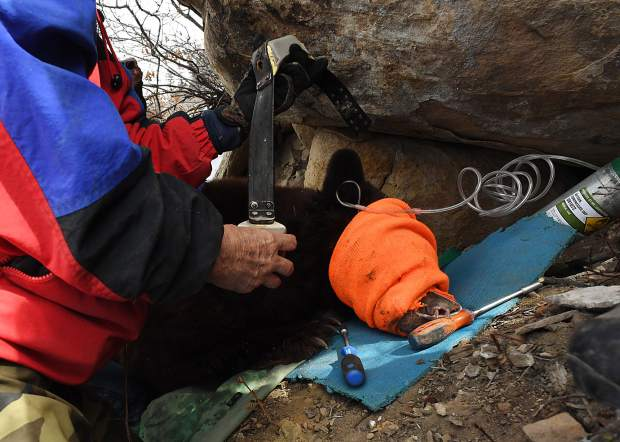 DURANGO, CO -MARCH 06: Colorado Parks & Wildlife researcher Lyle Willmarth works on taking off a tracking collar on a sow black bear outside her den, on Raider Ridge in Durango, March 06, 2017. Willmarth is part of a team woking on a five-year study to determine the influence of urban environments on black bear behavior and population trends. (Photo by RJ Sangosti/The Denver Post)
