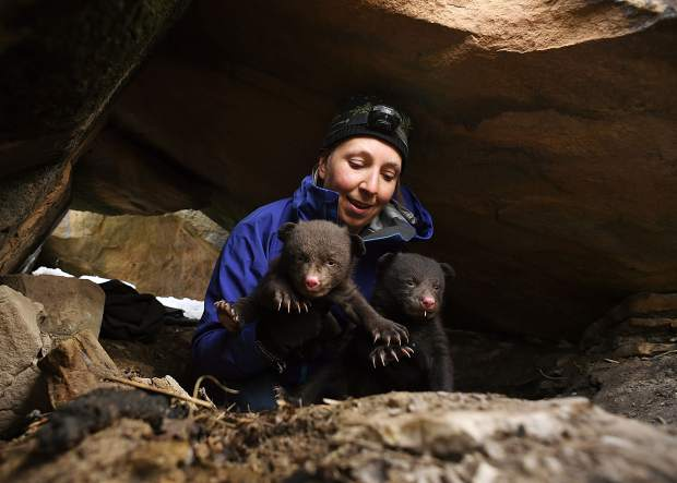 DURANGO, CO -MARCH 06: Colorado Parks & Wildlife researcher Heather Johnson takes two of three cub out of a den, on Raider Ridge in Durango, during a study to determine the influence of urban environments on black bear behavior and population trends, March 06, 2017. Johnson, is heading up a five-year study of bear behavior in the Durango area. (Photo by RJ Sangosti/The Denver Post)