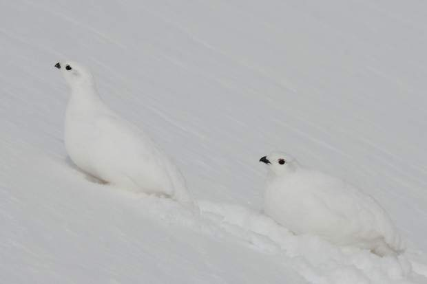 A blanket of white nearly camouflages two ptarmigan, namesake of the Ptarmigan Wilderness Area near Silverthorne.