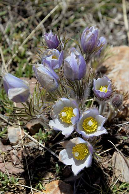 The early-blooming pasque flower brightens the south-facing fields of sagebrush on the trail to Ptarmigan Peak near Silverthorne.