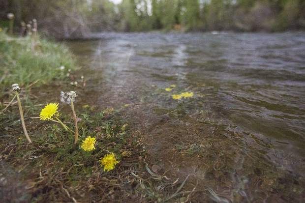 Heightened, and still growing, water levels bury dandelions beneath the surface of water along the Blue River shoreline in Silverthorne on Monday.