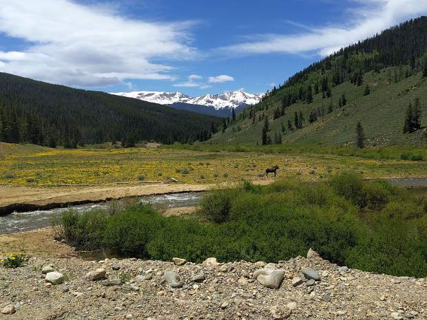 A lone moose visited the recently rerouted lower stretch of the Swan River in Breckenridge on Tuesday, June 13. One of the goals of the restoration project is to create native habitat for a diversity of area wildlife.