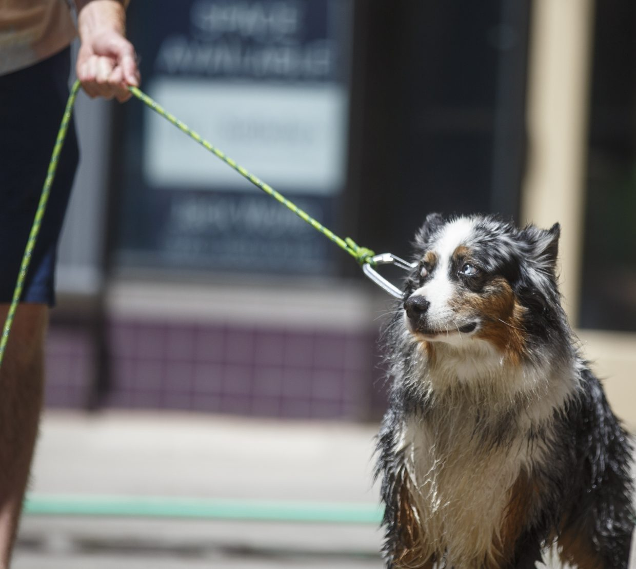 Hobie, an australian shepard, anticipates  a bath during a fundraiser Wednesday, July 19, at the Main Street Station in Breckenridge.