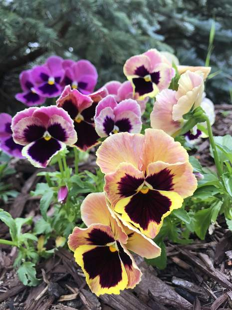 Pansies were plentiful at the Summit County Garden Tour.