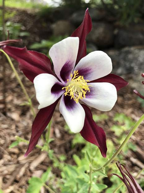 Columbines were also a popular flower at the Summit County Garden Tour.