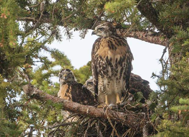 Three Red-tailed Hawk chicks in the nest with the parents babysitting nearby above 8000 feet in Silverthorne.