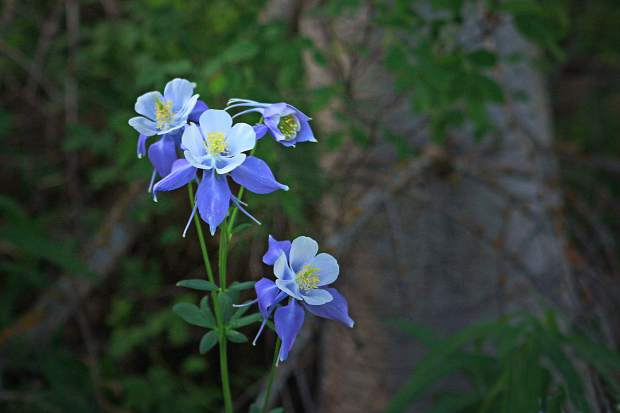 Columbine are in full bloom at Cataract Lake.