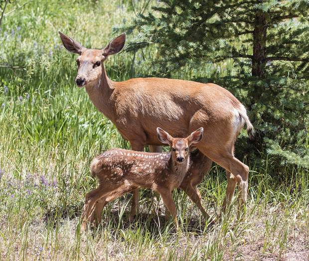 A mule deer doe is stopped by her month old twin fawns for a lunch break.