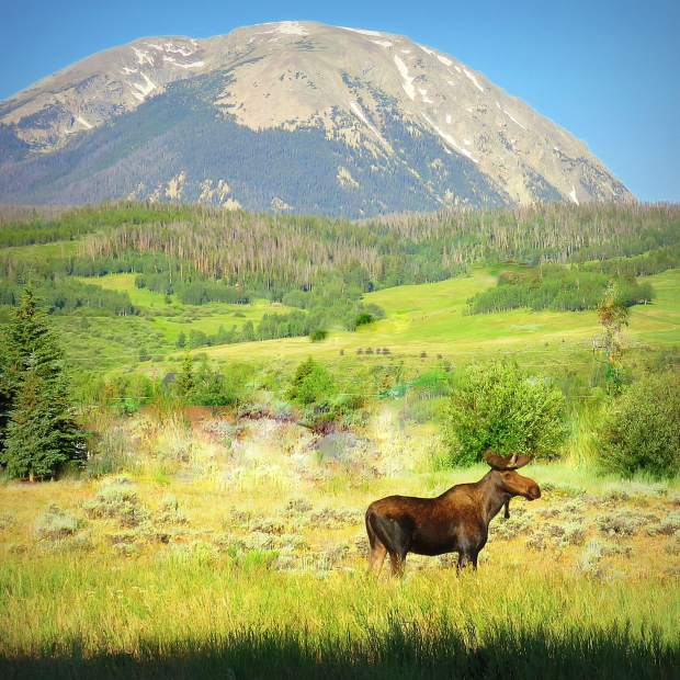 Yearling Bull Moose and Buffalo Mountain.