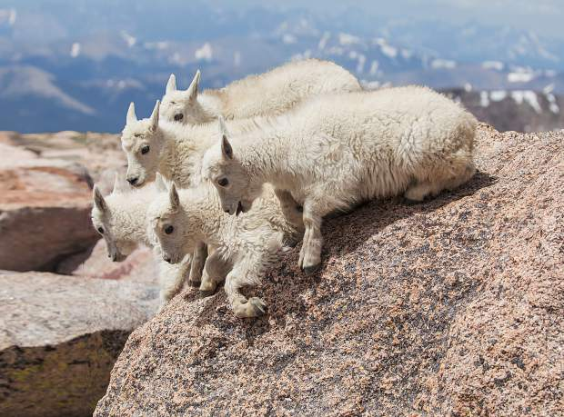 Five mountain goat kids are on the verge of jumping, if only one of the other goats would jump first.