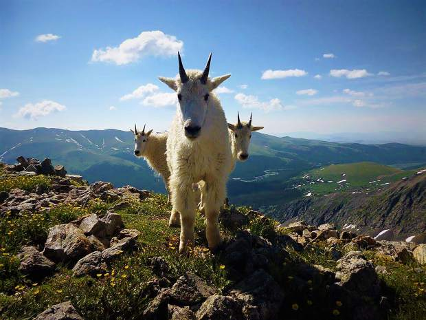 Mountain Goats pose for the camera on Quandary Peak. To possibly see your photos in print or online, submit entries to share@summitdaily.com