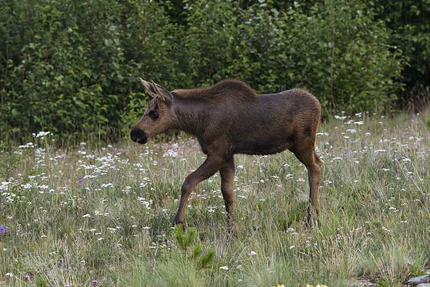Moose baby in Cucumber Gulch.