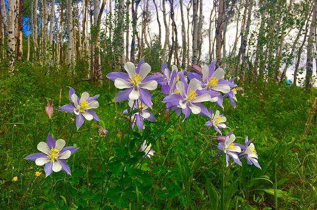 A forest bursting with columbine flowers near the Ptarmigan Wilderness. It's peak wildflower season in Summit County. Submit your wildflower photos to share@summitdaily.com or use our hashtag, #exploresummit.