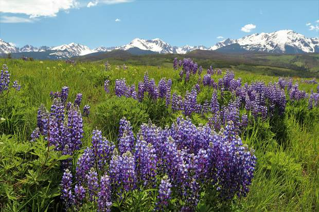 The wild blue lupine are now in full display near the Acorn Creek trailhead north of Silverthorne. It's peak wildflower season in Summit County. Submit your wildflower photos to share@summitdaily.com or use our hashtag, #exploresummit.