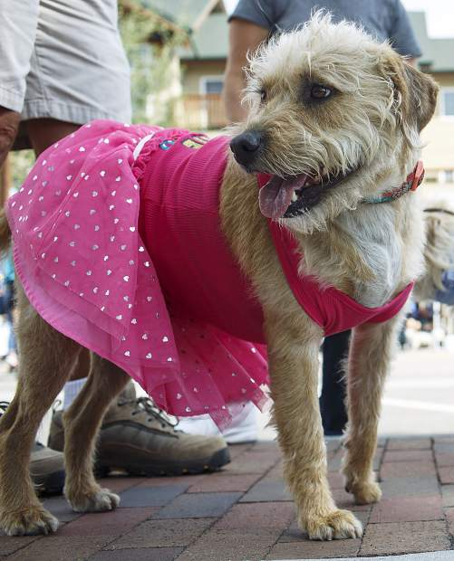 Darby, who was adopted from the local animal shelter by her owners, participates in the Canine 4K race on Frisco's Main Street, Saturday.