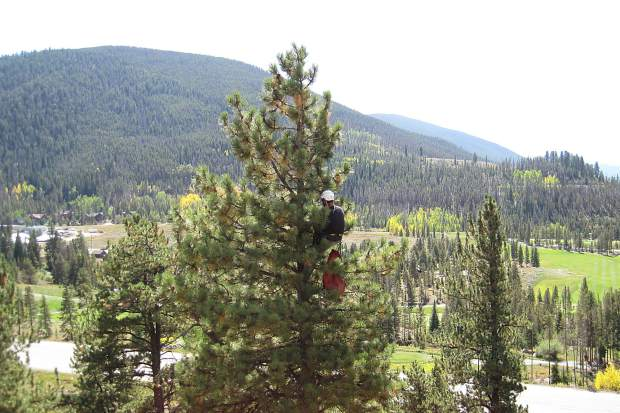 A contracted tree climber removes cones from a stand of ponderosa pine trees in Keystone on Sept. 12. The mysterious conifers near the Summit County landfill are the only known group of ponderosa on public lands in the region.