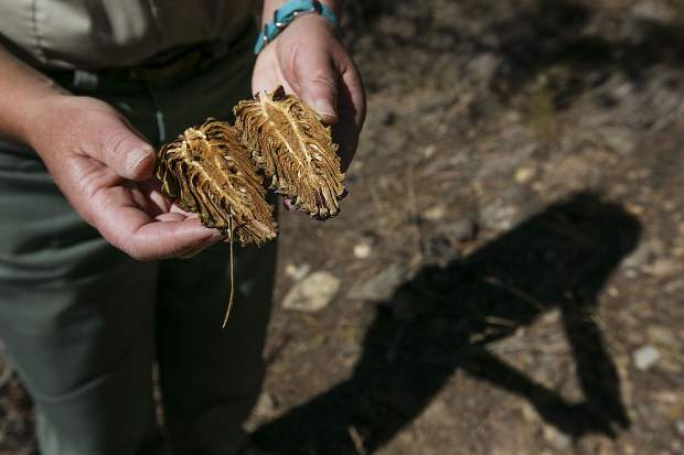 White River National Forest reforestation coordinator Sarah Pearson displays the inside of a ponderosa pine cone, where the seeds are live, during a field trip near Dillon on Friday, Sept. 15.