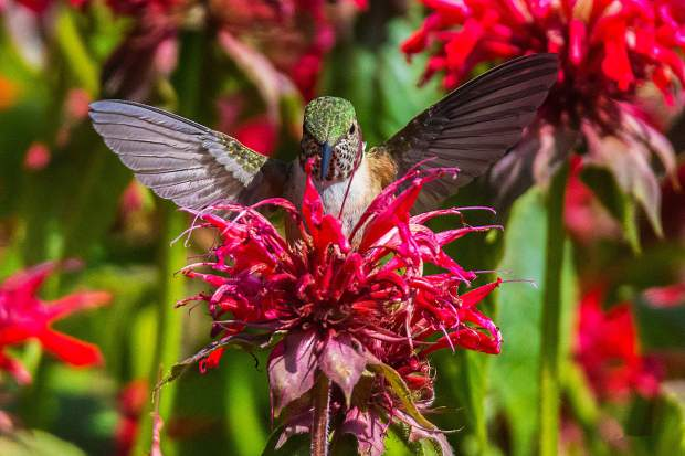 A broad-tailed Hummingbird at the entrance to Eagles Nest Wilderness on the north side of Silverthorne.