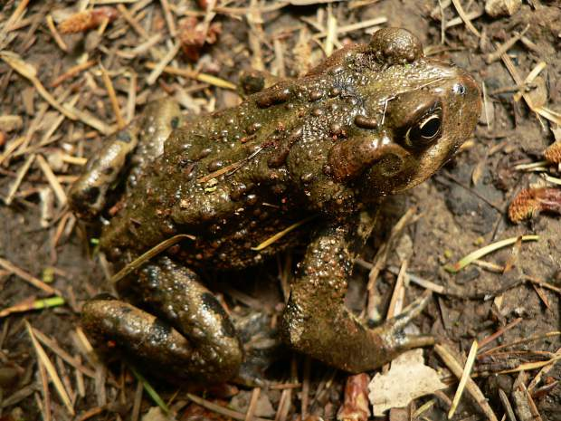 High altitude colorado boreal toad left unlisted as endangered walter siegmund wikimedia commons the eastern boreal toad sciox Choice Image