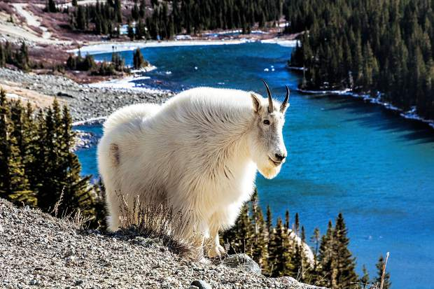Mountain Goat with his winter fur coat at Blue Lakes.